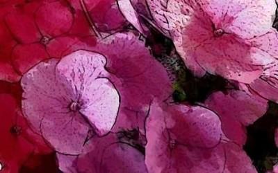 Die üppig weibliche pinke Hortensie