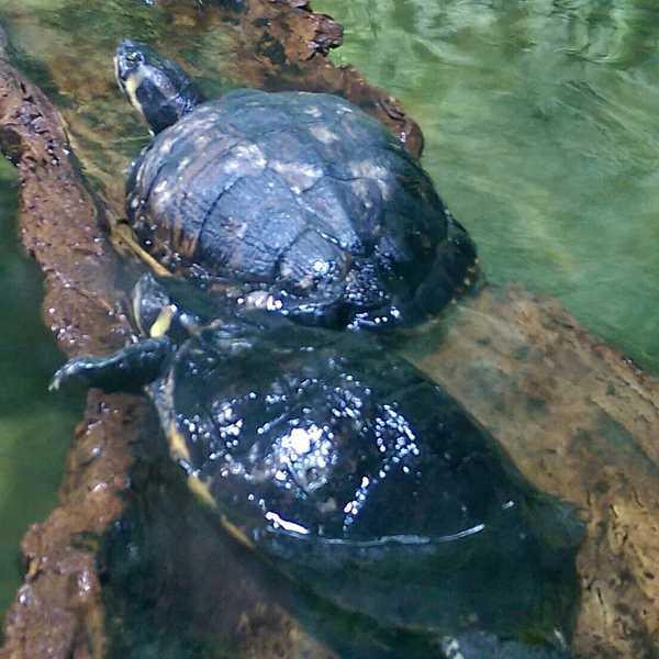 Wie kann ich mein Krafttier finden? Das Krafttier Schildkröte