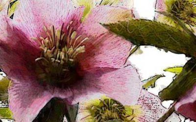 Wahrhaftige pink-weiße Christrosen