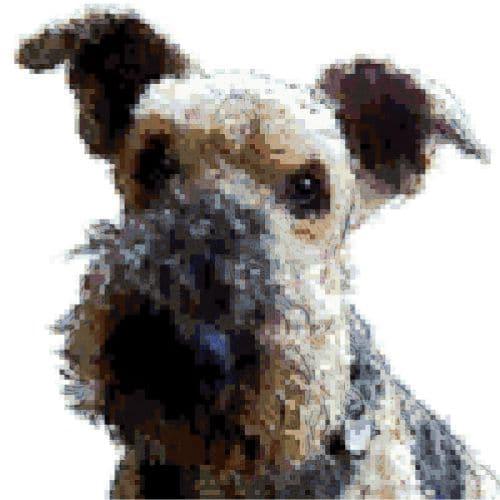02-Hund-Airdale-Terrier