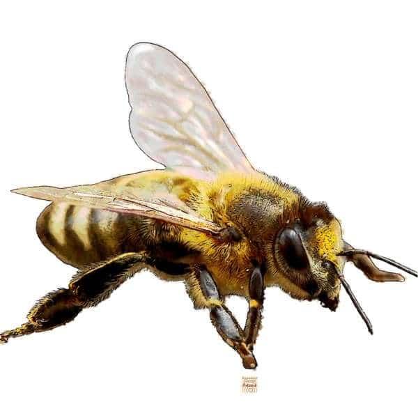 Zur Krafttier Biene Bedeutung